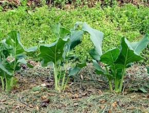 mulch-herbe-tonte-pelouse-permaculture